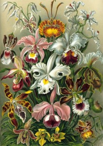 Grafika 1000 - Ernst Haeckel: Art Forms of Nature - Orchid (1904) (Artystyczne formy natury - Orchidee)