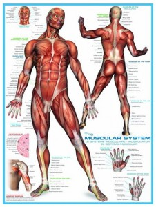 Eurographics 1000 - Muscular system