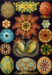 Grafika 1000 - Ernst Haeckel : The Ascidians , 1904  (Ascidiany)